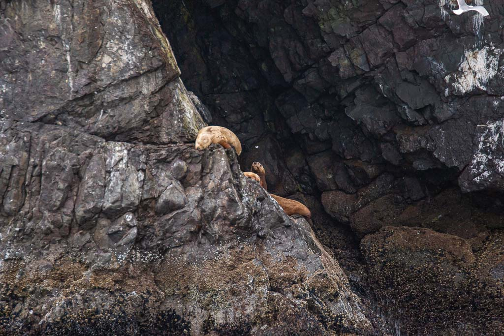 Steller sea lion, sea lion, sea lions, whale, gulf of Alaska, Alaska, resurrection bay, kenai fjords, kenai Fjords national park, major marine tours