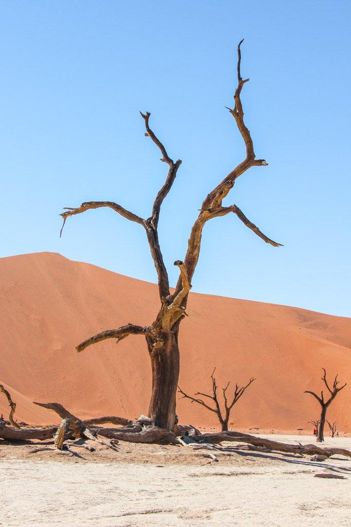 Camel thorne tree, Acacia, Acacia erioloba, Deadvlei, Sossusvlei, Namib-Naukluft National Park, Namibia
